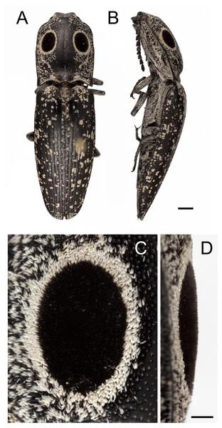 Eyed elater click beetle, Alaus oculatus, dorsal habitus and false eyes.