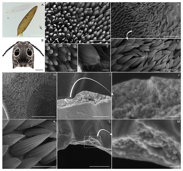 Eyed elater click beetle, Alaus oculatus, setal morphology of false eyes and eyeliner.