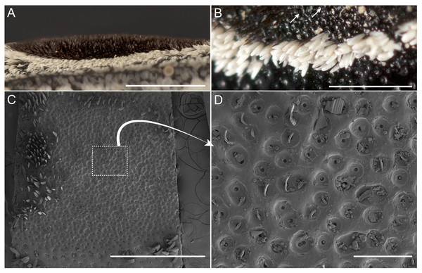 Eyed elater click beetle, Alaus oculatus, false eyes, lateral view and exoskeletal dimples of eyespot setae.