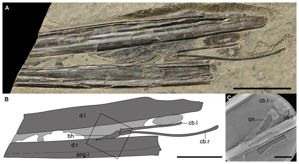The new material (IVPP V 14189) of a unique hyoid apparatus in pterosaurs from the upper part of Yixian Formation.
