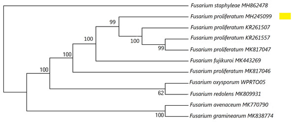 A maximum parsimony phylogeny for Fusarium proliferatum from ITS (Internal transcribed spacer).