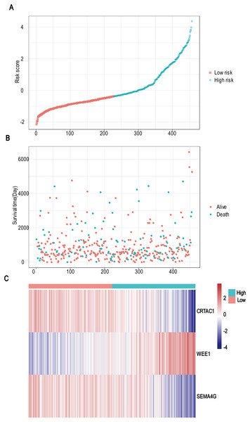 Risk score analysis, survival status and survival time between two risk group and expression distribution of the three-gene signature in TCGA dataset.