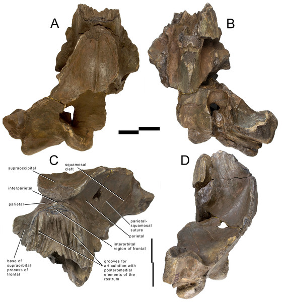 Holotype skull of Archaebalaenoptera liesselensis.