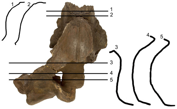Transverse sections of the holotype skull of Archaebalaenoptera liesselensis.