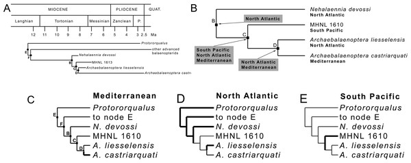 Phylogenetic relationships and paleobiogeography of the Archaebalaenoptera clade.