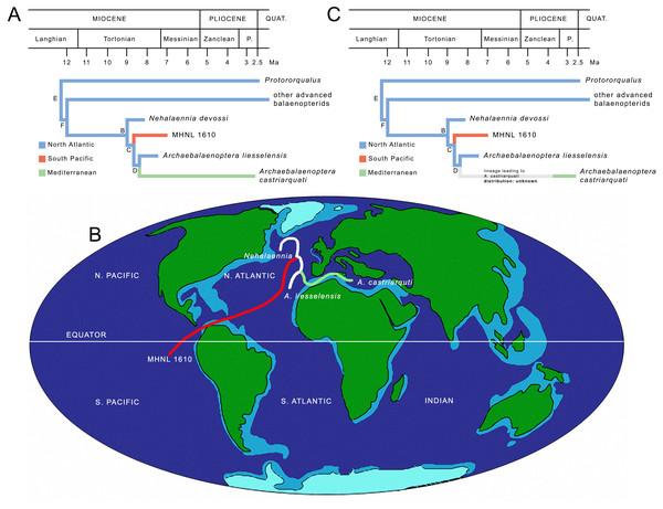Paleobiogeography of Archaebalaenoptera.