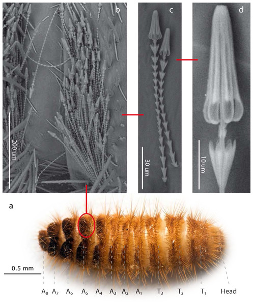 Hastisetae structure and distribution on Megatominae larvae (general scheme).