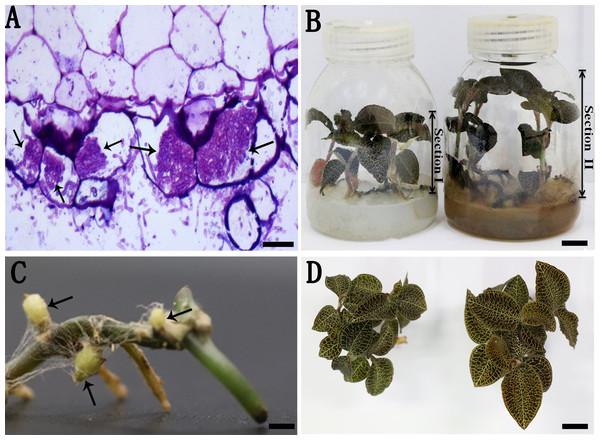 A. roxburghii inoculated with AR2 and uninoculation.