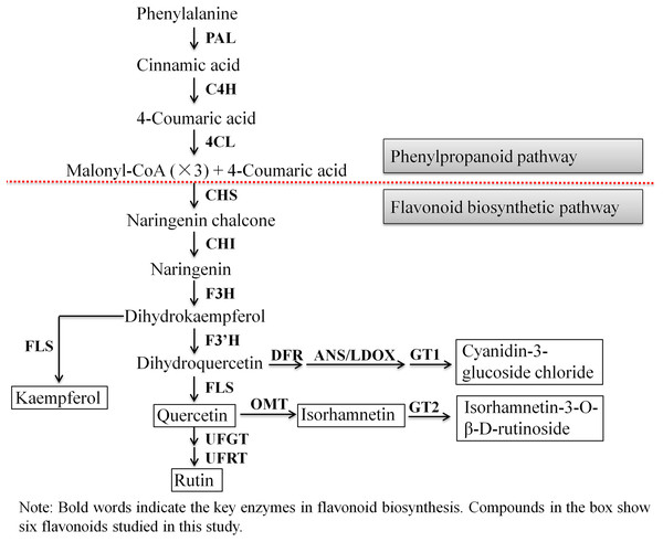 The biosynthesis pathway of 6 flavonoids in A. roxburghii.