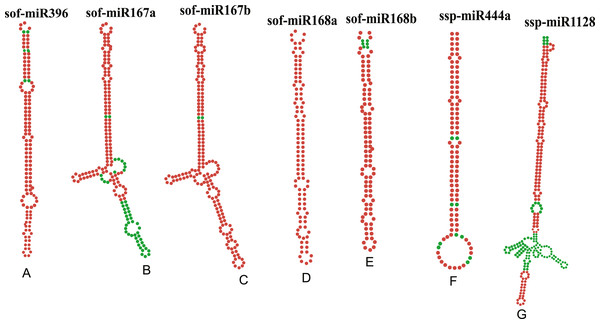 Stable secondary structures of top seven pre-miRNAs, precursors of the mature sugarcane miRNAs found in the study as the miRNAs detected by a consensus of algorithms.