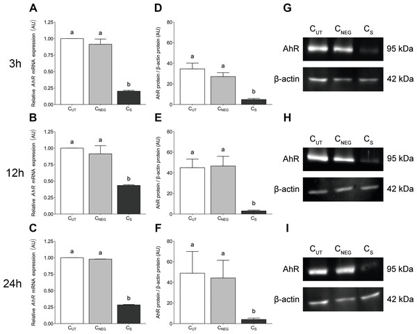 The effects of knock-down of AhR gene expression on AhR gene and protein abundance in porcine granulosa cells.