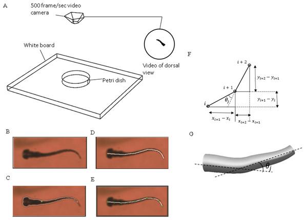 Experimental method used to extract zebrafish motion equations.