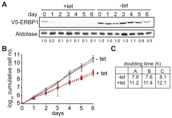 ERBP1 is required for normal growth of bloodstream-form T. brucei.