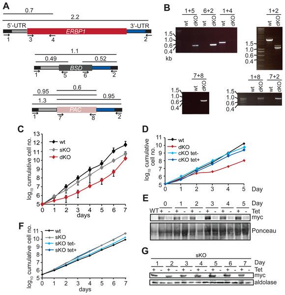 Bloodstream-form trypanosomes survive without ERBP1.