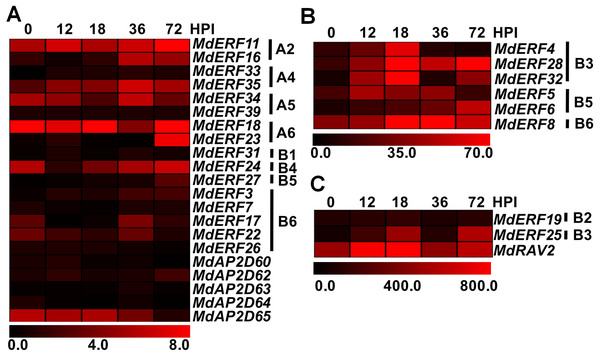 Expression profiles of apple AP2/ERF genes in response to Alternaria alternata apple pathotype infection.
