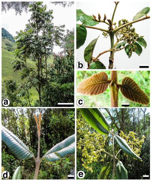 Brunellia antioquensis. (Cuatrec.) Cuatrec. and B. trianae Cuatrec.