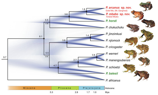 Species tree of the Cameroon radiation of Phrynobatrachus.