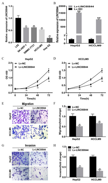 Upregulation in LINC00844 expression represses the proliferation, migration, and invasion of HepG2 and HCCLM9 cells.