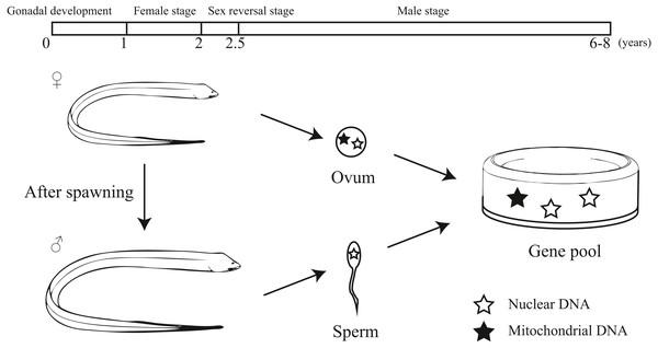 Population Genetics Of Swamp Eel In The Yangtze River