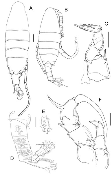 Mastigodiaptomus cihuatlan sp. n., adult female, holotype (A and C) and adult male, allotype (B and D–F).