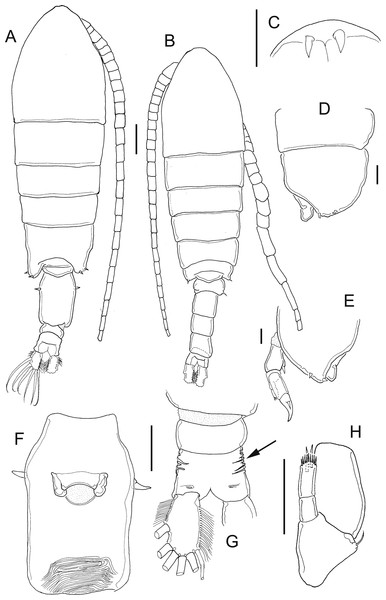 Mastigodiaptomus ha sp. n., adult female, holotype (A and C–H) and adult male, allotype (B).