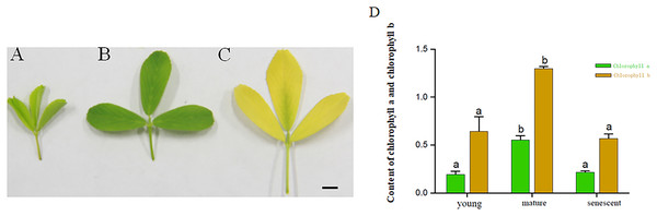 (A–C) represents young, mature and senescent leaves. Bar = 2 cm; (D) Chlorophyll a and Chlorophyll b content in young, mature and senescent leaves.