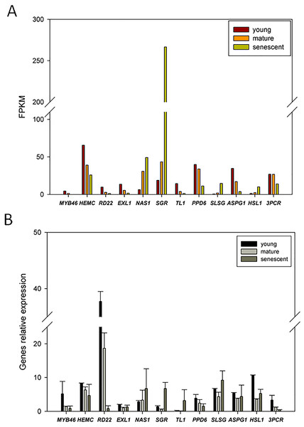qRT-PCR validation of DEGs from the young, mature and senescent RNA-seq databases in alfalfa; (A) the DEGs transcript abundance changes calculated by FPKM method; (B) DEGs relative expression levels of young, mature and senescent leaves validated by qPCR.
