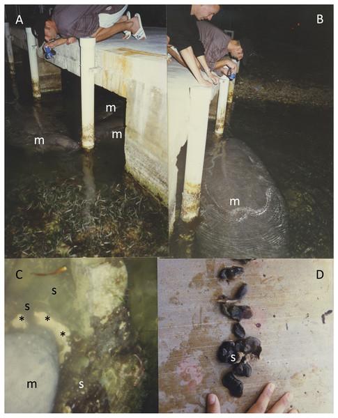Manatees eating C. caribensis off pylons of a dock in Key Largo, Florida.