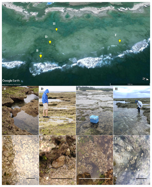 Landscape of the coral reef flat at the study site and in situ images of Palythoa species used in this study.