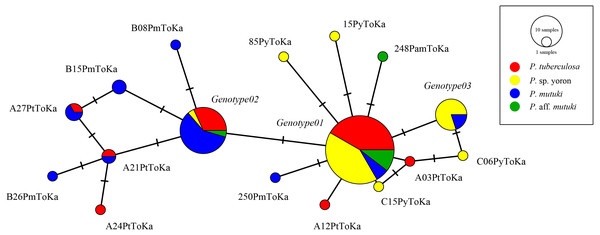 Haplotype network tree constructed with nuclear ITS-rDNA region alignment using TCS networks method.