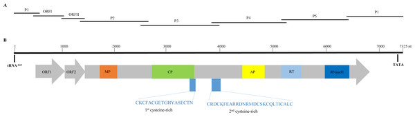 Overlapping PCR amplification and schematic genome organization of Banana streak GF virus YN isolate (BSGFV-YN).