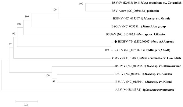 Phylogenetic tree of the complete genome sequences of BSGFV-YN and other BSV isolates were conducted in MEGA6.