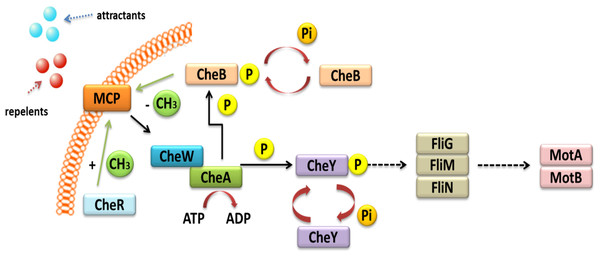 Mechanism of chemotaxis based on the TCS system in α-Proteobacteria (based on the KEGG database).