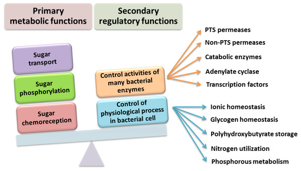 Functions performed by the PTS system in Gram-negative bacteria (based on data presented in Saier (2015).