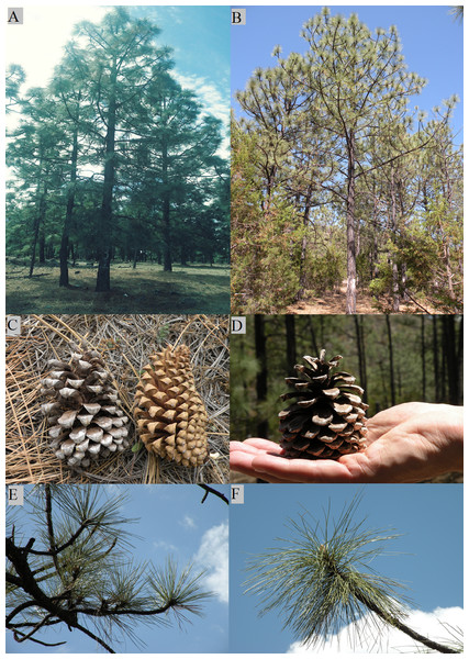 Morphological characteristics of pure species of Pinus engelmannii and P. engelmannii × P. arizonica hybrid.