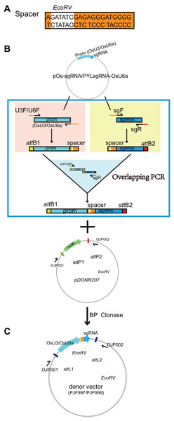 Construction of the donor vectors as the templates for multiplex PCR amplification of target-sgRNA expression cassettes.