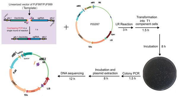 Workflow for constructing expression clone containing a single target-sgRNA expression cassette with multiplex PCR.