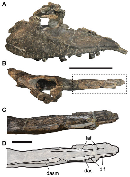 Incompletely preserved left maxilla of UMNH VP 9216, Allosaurus fragilis, showing details of the posterior process.
