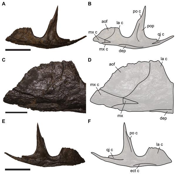 Completely preserved left jugal of SMA 0005, Allosaurus jimmadsoni.