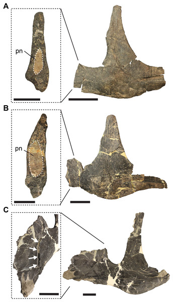 Jugal pneumatisation in Allosaurus fragilis.