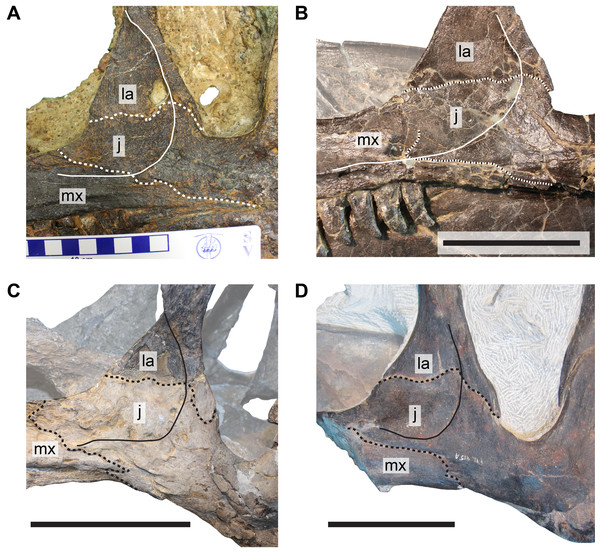Comparison of cheek regions in different specimens of Allosaurus.