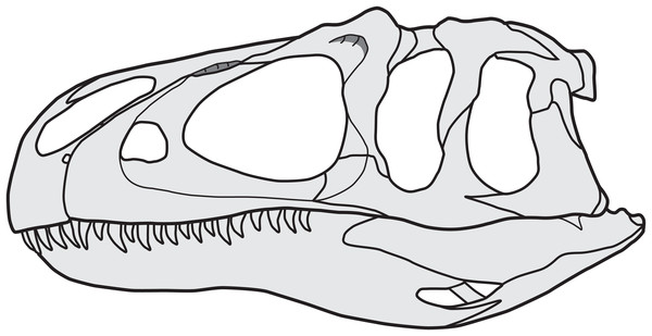 Reconstruction of the skull of Allosaurus, based on MOR 693 (A. jimmadseni).