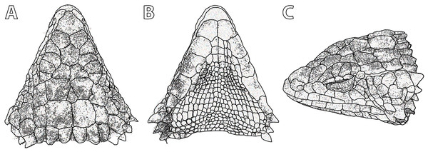 Smaug barbertonensis. (A) Dorsal, (B) ventral and (C) lateral views of the head of NMB R9191 (topotype).
