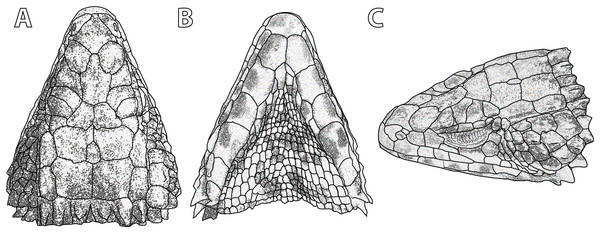 Smaug warreni. (A) Dorsal, (B) ventral and (C) lateral views of the head of TM 50130 (Lomahasha, Eswatini).