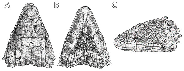 Smaug swazicus sp. nov. (A) Dorsal, (B) ventral and (C) lateral views of the head of the holotype (NMB R9201).
