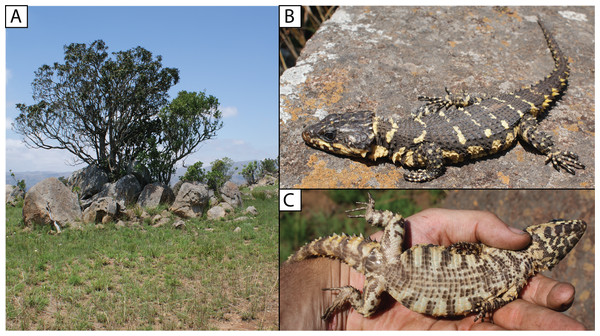 (A) Shady rocky outcrops at Nkomati Viewpoint, Malolotja National Park, Eswatini, typical habitat of Smaug swazicus sp. nov. (B) Dorsal colouration of live paratype of S. swazicus (NMB R9194). (C) Ventral colouration of S. swazicus.