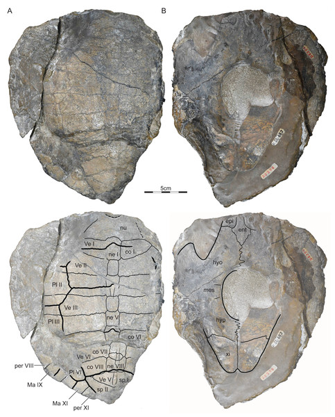 GSI 20380, Indochelys spatulata, holotype, Maharashtra, India, Kota Formation, Early–Middle Jurassic.