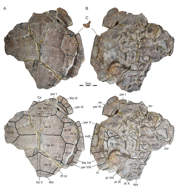 ISI R176, Indochelys spatulata, Telangana, India, Kota Formation, Early–Middle Jurassic.