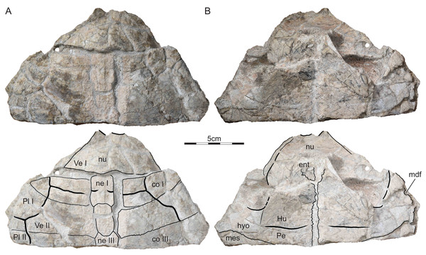 ISI R177, Indochelys spatulata, Telangana, India, Kota Formation, Early–Middle Jurassic.