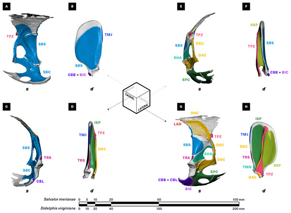 Muscle attachments on the right scapulocoracoid/scapula of Salvator merianae (s) and Didelphis virginiana (d).